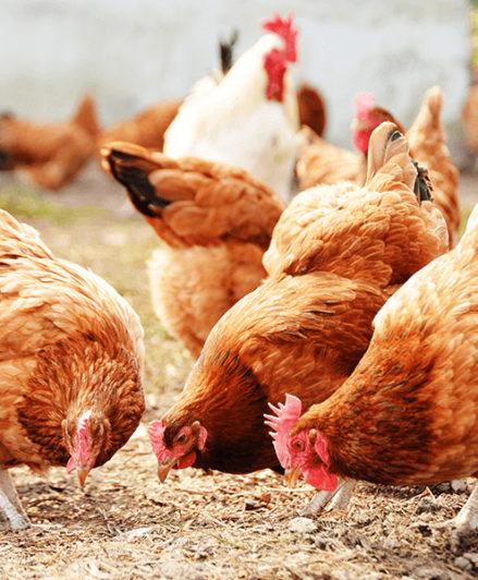 ¿Qué resultados se obtienen del uso de fitogénicos en la avicultura?